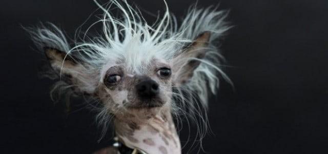 Los perros «más feos» del mundo  ¡Guau! Impresionantes.